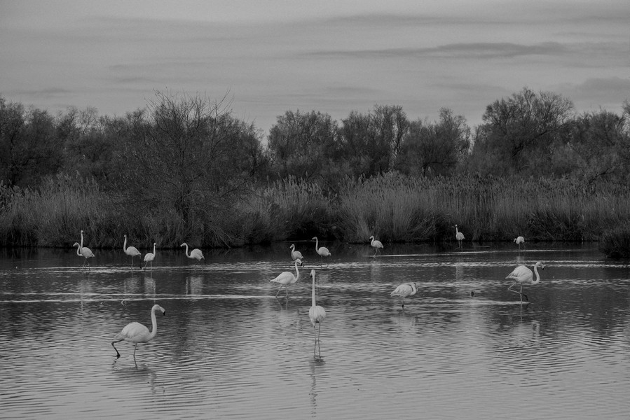 Thierry Secretan - FLAMANDS ROSES - protected by IMATAG