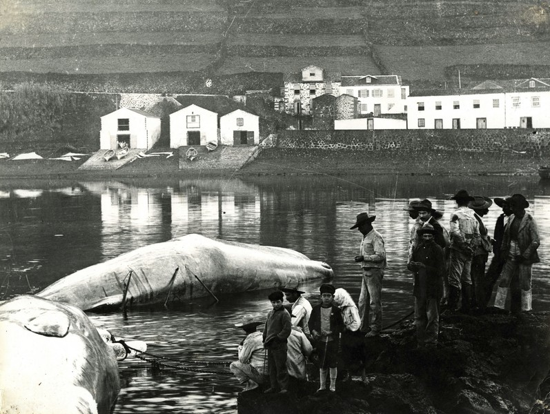 © coll.Thierry Secretan - Sperm whales in the harbour of Lajes do Pico, Azores, 1930's - Dead sperm whales in the harbour of Lajes do Pico, Pico island, Azores, Portugal, circa 1930  - protected by IMATAG