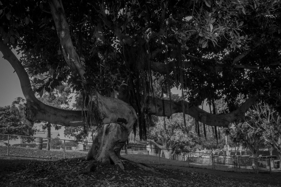 Thierry Secretan - Los Angeles 2017 - Tree in Venice beach - protected by IMATAG