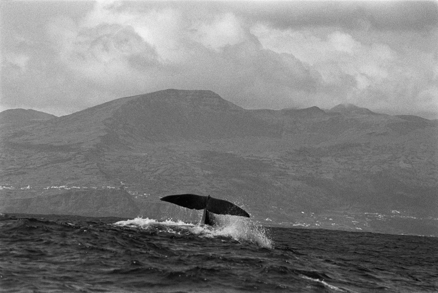 ©Thierry Secretan - Sperm whale off Pico island - The fluke of sperm whale swimming in a high swell off the volcanic island of Pico island, Portugal - protected by IMATAG