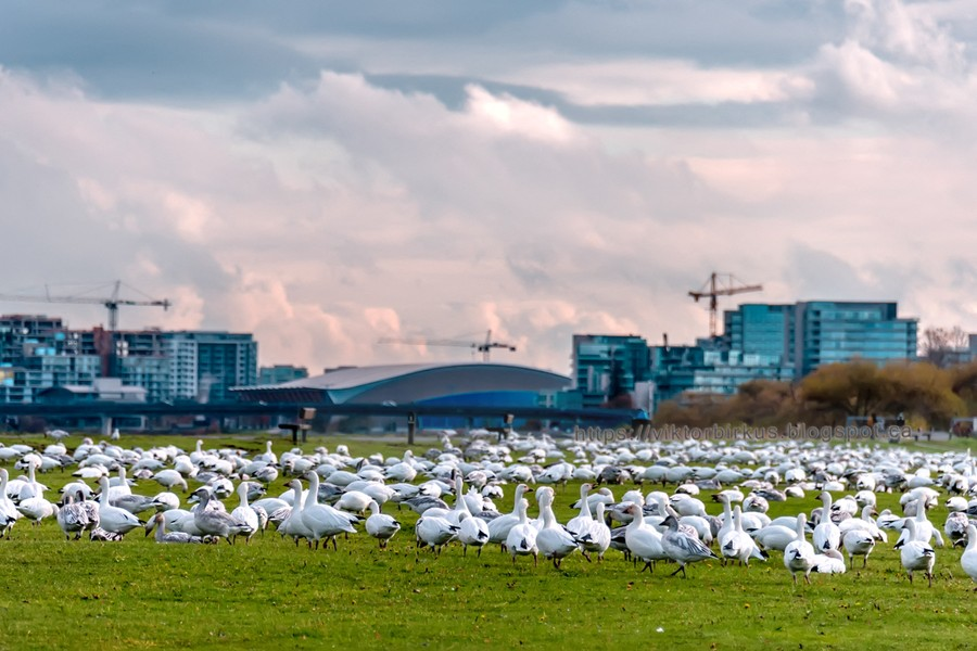 http://viktorbirkus.blogspot.ca/ - A large flock of white geese on green grass, new buildings of high-rise buildings in the background - A large flock of white geese on green grass, tower cranes, clouds, new buildings of multi-storey buildings in the background - protected by IMATAG